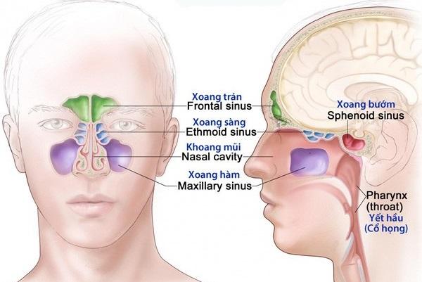 Hình ảnh giải phẫu các xoang trán