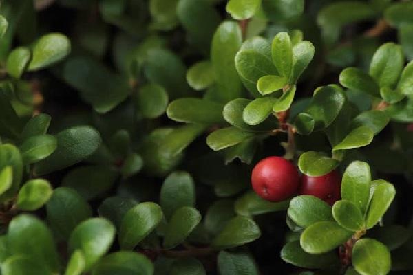 Chiết xuất Bearberry là thành phần làm trắng da tự nhiên