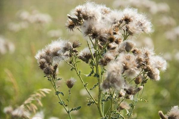 Cỏ dại là một tác nhân gây dị ứng phát hoa thường gặp