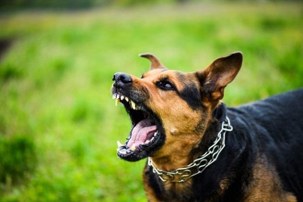 Chó cắn là nguyên nhân gây bệnh dại ở người hàng đầu tại nước ta
